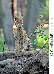 Eurasian Lynx in the forest