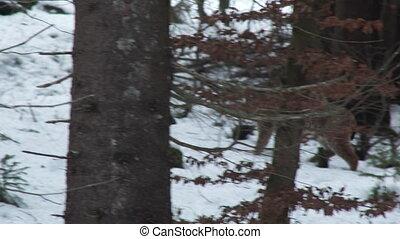 Eurasian Lynx in winter forest