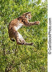 Eurasian Lynx Jumping to Catch Food - Playful Eurasian Lynx ...