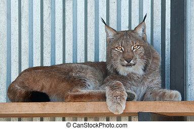 Eurasian lynx (L. Lynx) rests in an enclosure