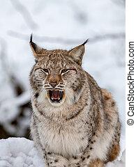 Eurasian Lynx, Lynx lynnx, in the snow, yawning