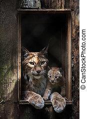 Eurasian lynx (Lynx lynx). An adult with a juvenile.
