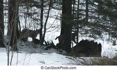 Eurasian Lynx ( Lynx lynx) couple