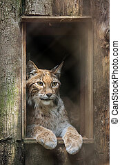 Eurasian lynx (Lynx lynx). - Eurasian lynx (Lynx lynx) is ...