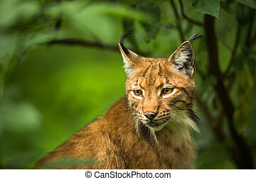 Eurasian Lynx (Lynx lynx)   - Eurasian Lynx (Lynx lynx)
