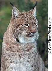 Eurasian Lynx portrait against green background
