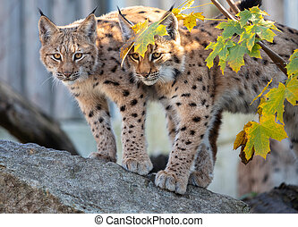 Eurasian lynx. - Portrait of the couple of young Eurasian ...