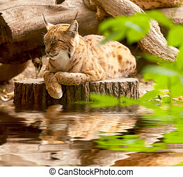 Eurasian lynx sitting on a tree stump