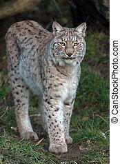 Eurasian Lynx stalking through dark foliage