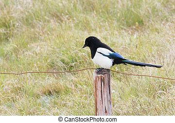 Eurasian Magpie on fence