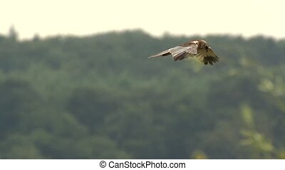 (Eurasian) marsh harrier -Circus ae