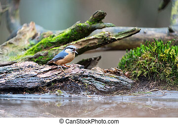 Eurasian nuthatch in nature