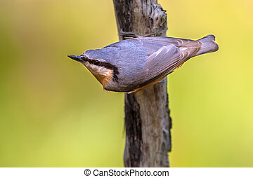 Eurasian nuthatch on a branch