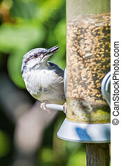Eurasian nuthatch or Sitta europaea at a bird feeder