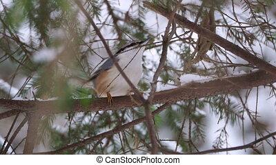 Eurasian nuthatch or wood nuthatch Sitta europaea sitting on...