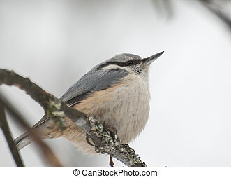 Eurasian Nuthatch sitting on the branch of a treer.