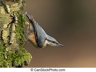 Eurasian Nuthatch standing on a mossy tree trunk