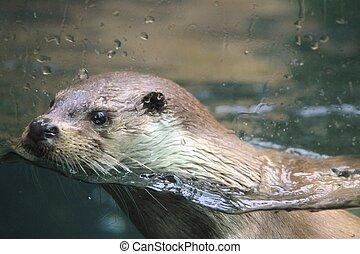 Eurasian otter in aquarium