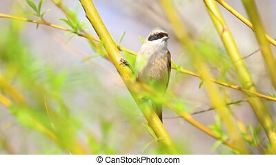 Eurasian penduline tit among spring greens on a tree, wild...