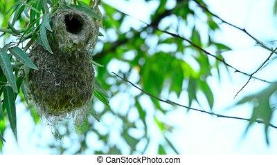Eurasian penduline tit or Remiz pendulinus flies out of its...