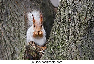 Eurasian red squirrel having lunch on a tree branch