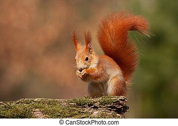 Eurasian red squirrel, sciurus vulgaris, in autumn forest in warm light. Wildlife scenery with vivid colors. Cute little animal feeding.