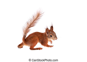 Eurasian red Squirrel, Sciurus Vulgaris on white - Eurasian...