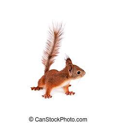 Eurasian red Squirrel, Sciurus Vulgaris, isolated on white background