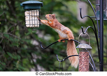 Eurasian Red Squirrel (sciurus vulgaris)_02