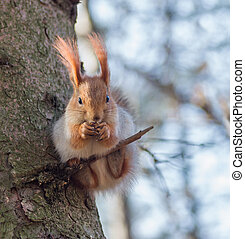 Eurasian red squirrel sitting on a thin twig and eating walnut