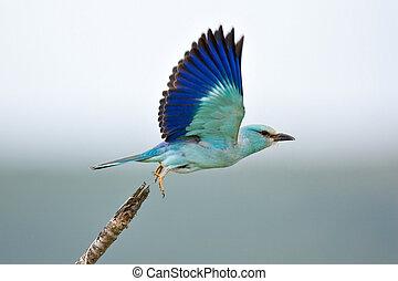 Eurasian Roller taking flight; coracias garrulus; South...