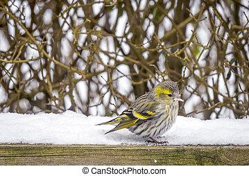 Eurasian Siskin sitting in the snow
