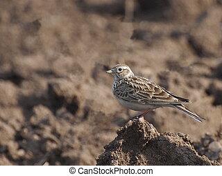 Eurasian Skylark, Alauda arvensis