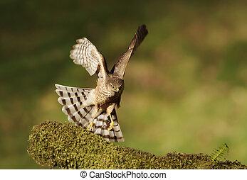 Eurasian Sparrowhawk landing on a mossy wooden log