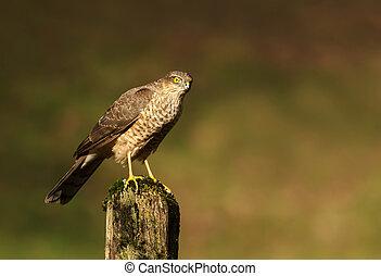 Eurasian Sparrowhawk perching on a wooden post
