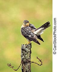 Eurasian Sparrowhawk preening on a wooden post