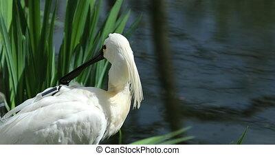 Eurasian Spoonbill at a River - Beautiful Eurasian Spoonbill...