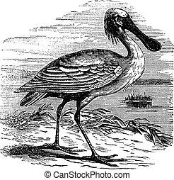 Eurasian Spoonbill or Platalea leucorodia or Common Spoonbill, vintage engraving. Old engraved illustration of Eurasian Spoonbill.