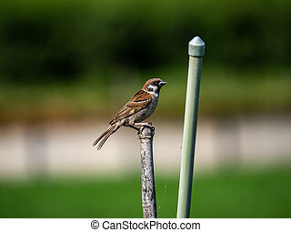 Eurasian tree sparrow beside a Japanese garden 2