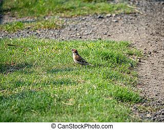 eurasian tree sparrow on the grass