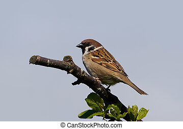Eurasian tree sparrow resting on a branch