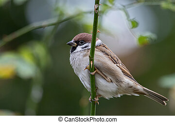 Eurasian tree sparrow (Passer montanus) in the city