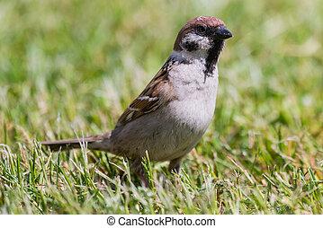 Eurasian tree sparrow Passer montanus sitting in grass -...