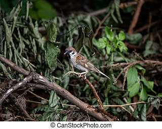 Eurasian tree sparrow perched on a branch 6
