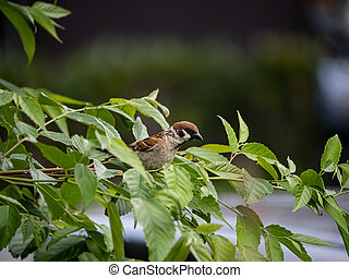 Eurasian tree sparrow perched on a branch
