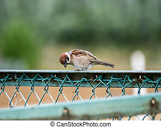 Eurasian tree sparrow perched on a fence