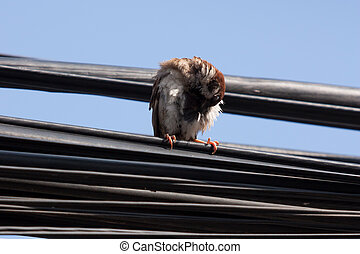 Eurasian Tree Sparrow sitting on a power cable, cleaning ...