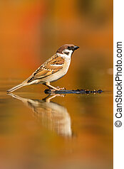 Eurasian tree sparrow sitting on wood in the water.