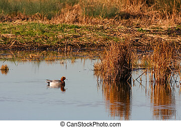 Eurasian Wigeon (anas penelope) on a pond in Essex