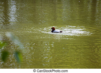 Eurasian wigeon on water